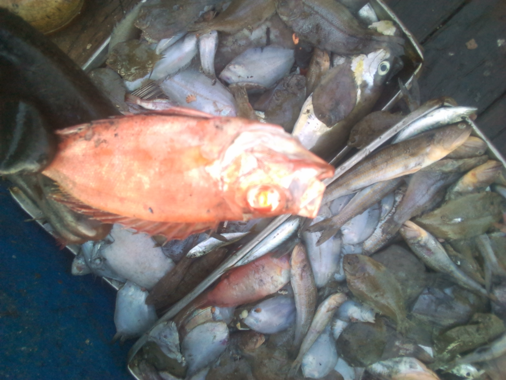 Image of fish sorted into pans awaiting freezing  which may end up as Saiko. .