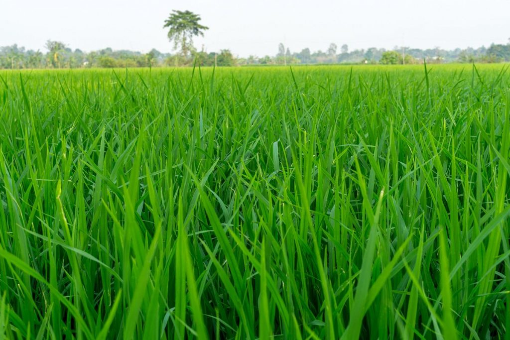 Verdant rice paddies outside Sa Dec. Photo by Michael Tatarski.