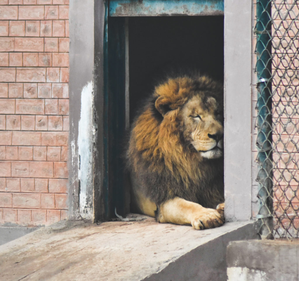 Image of a lion leaning against a cold concrete wall, a contrast from his life in the jungle
